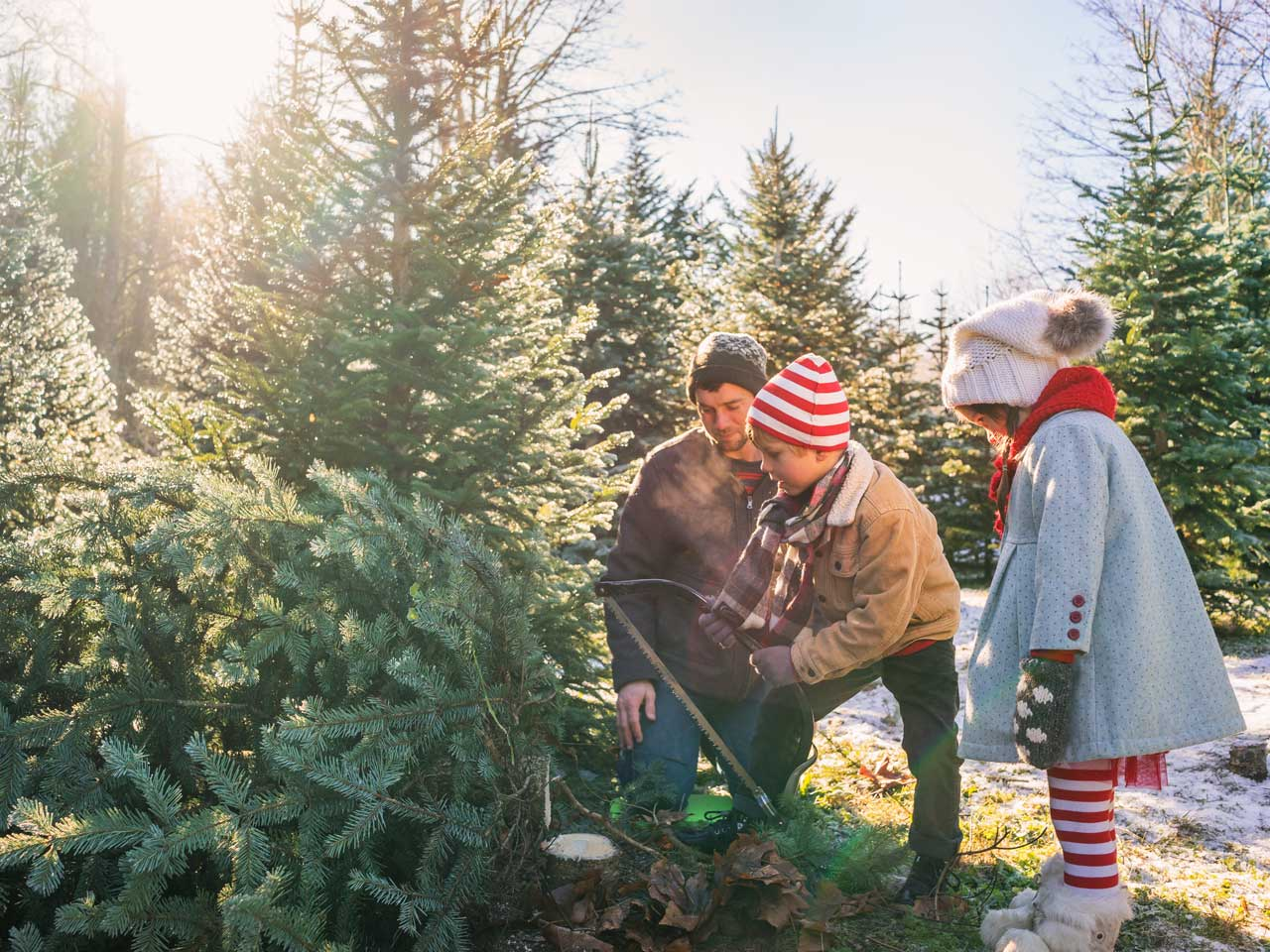 Where to Cut Your Own Christmas Tree in Colorado   Colorado Parent